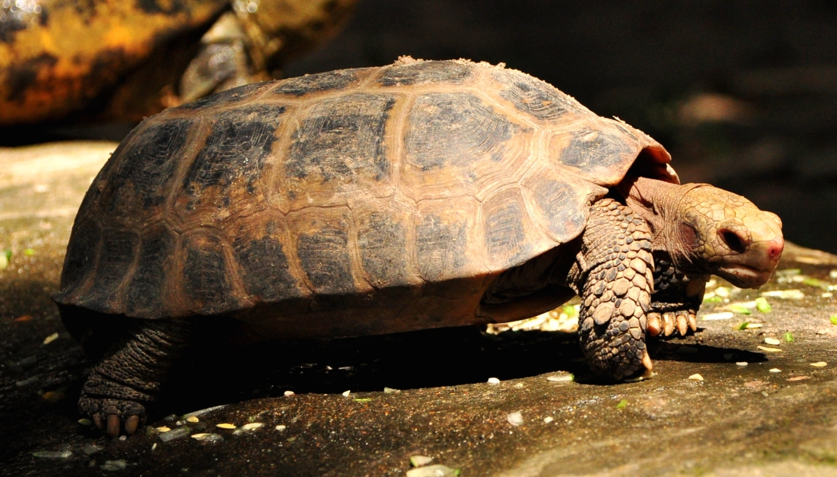 Fun Fact: Pineapple Tortoise