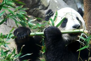 A full grown giant panda. Source: wikimedia.com