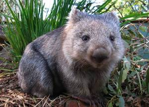 A full grown wombat. Source: altinawildlife.com