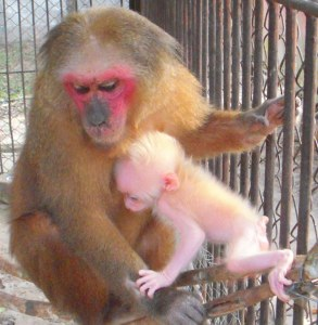 Mother and baby stump-tailed macaque. Don't you think the mom is cuter?