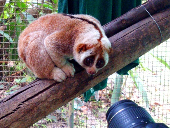 Slow loris is one of the exploited wildlife used as photo prop.
