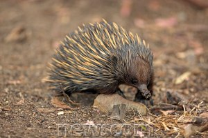 An adult echidna. Source: Newscom.