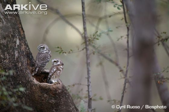 Two owlets at their nest hole.