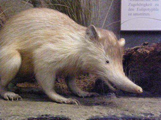 Hispaniolan solenodon. Source: wikimedia.org