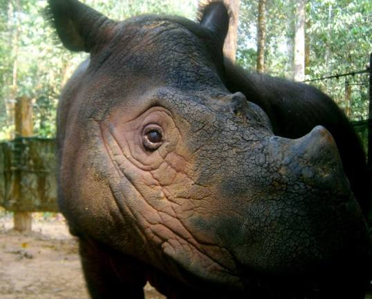 Bina, the only survivor from the 1990s capture. She now lives in Sumatran Rhino Sanctuary, Indonesia.