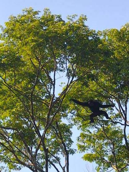 flying siamang