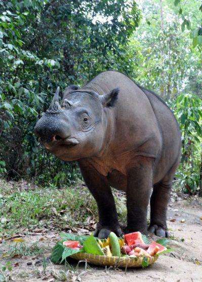 sumatran rhino rosa birthday.jpg